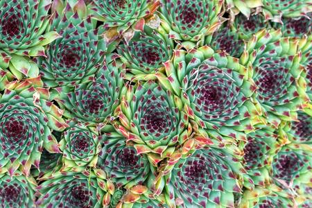 Housleek or semprevivum in garden background, texture .