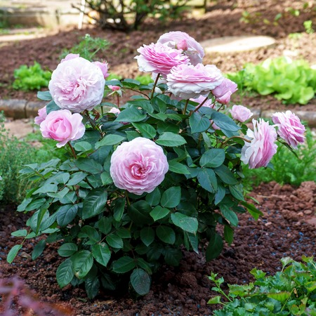Blooming english peony rose shrub in the garden on a sunny day. Olivia David Austin.