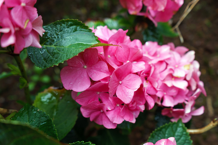 Pink hydrangea flower in rainy day, garden.