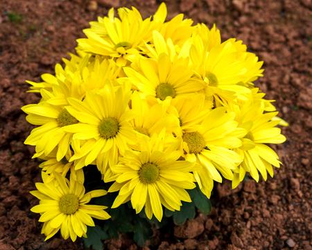 Bright yellow chrysanthemum flowers in the garden. Golden mums in autumn.