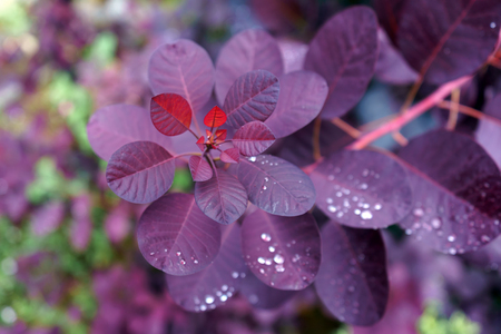 Cotinus Coggygria Royal Purple with Raindrops in garden.