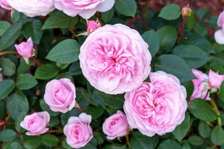 Arbuste de rose pivoine anglais en fleurs dans le jardin par une journée ensoleillée. Olivia David Austin.