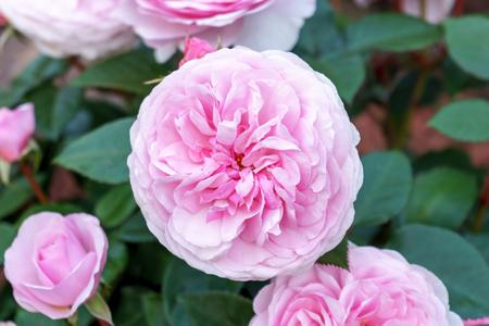 Arbuste de rose pivoine anglais en fleurs dans le jardin par une journée ensoleillée. Olivia David Austin. Banque d'images