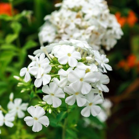 Phlox paniculata, White Admiral in garden. selective focus Imagens
