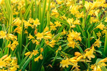 Blooming yellow daylilies, Hemerocallis, in the summer garden, selective focus