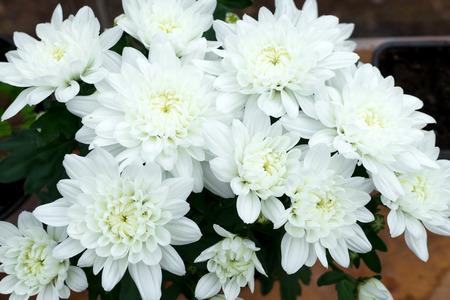 Dendranthemum grandifflora, White Mum flower for background.