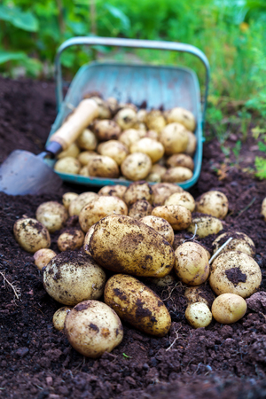 Harvest of fresh organic potatoes in the garden with full basket and little trowel in the soil