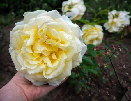 My Girl Rosa Fragrant Hybrid Tea rose white ivory flower
