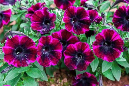 Dark Purple petunia plant in home garden.