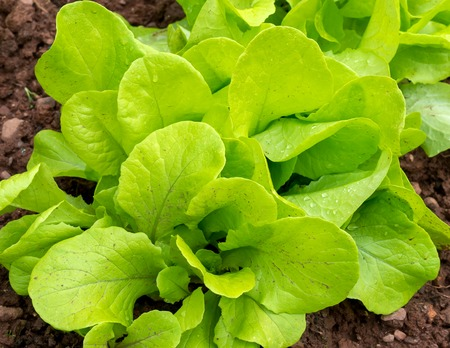 Lettuce growing in the home green garden.