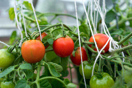 Red and green tumblertomatoes ripening on the bush in a greenhouse