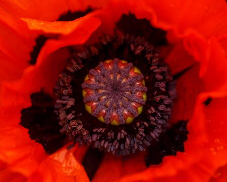 red poppy flower with green leaves on the background in summer garden Zdjęcie Seryjne