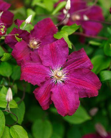 Purple clematis flowers blooming in summer garden