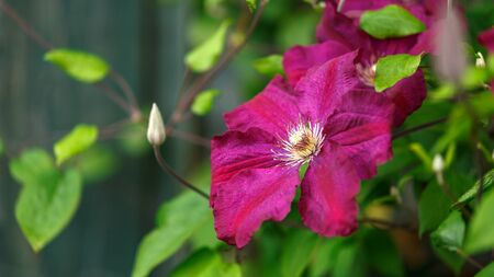 Purple clematis flowers blooming in summer garden