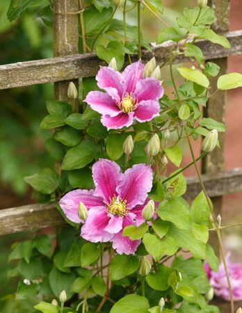 Large flowers of Clematis Piilu in summer garden