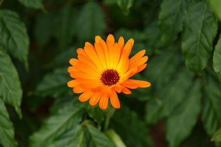 Orange calendula flowers, Blooming marigold in summer garden Zdjęcie Seryjne