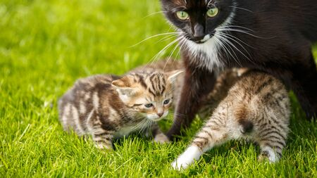 Little tabby kittens playing with their cat mother on the grass