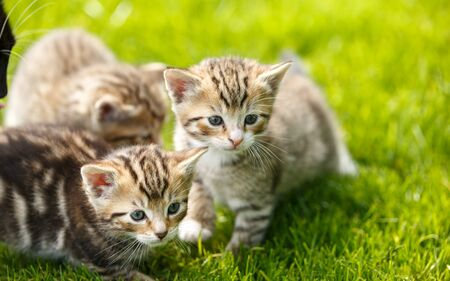 Little tabby kittens playing on the grass
