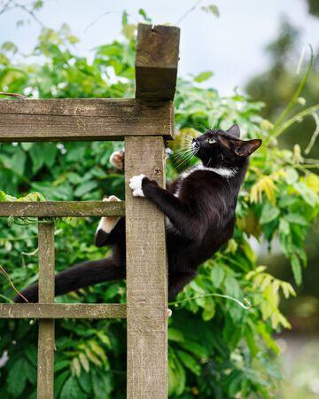 portrait of black and white cat climbing on the garden pergola