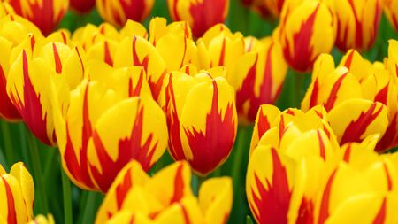 beautiful yellow and pink tulip flowers in spring garden. Zdjęcie Seryjne