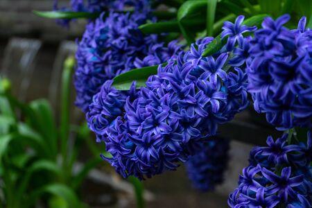 deep blue flowers of hyacinths in spring garden. Zdjęcie Seryjne