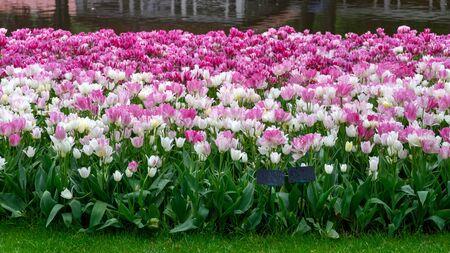 pink and white tulip flowers in spring garden, park. Zdjęcie Seryjne