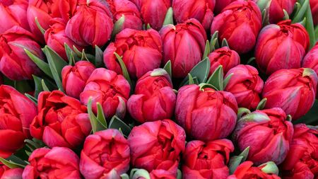 Giant bouquet of beautiful red tulips as background.