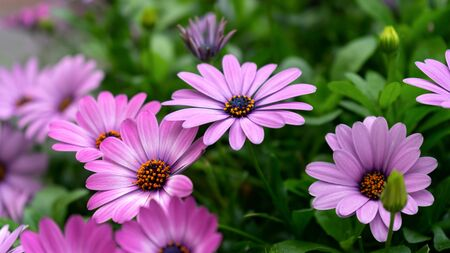 Purple osteospermum ecklonis, Dimorphotheca, African daisy flowers blooming in the garden.