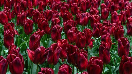 dark red, purple tulip flowers in spring garden.