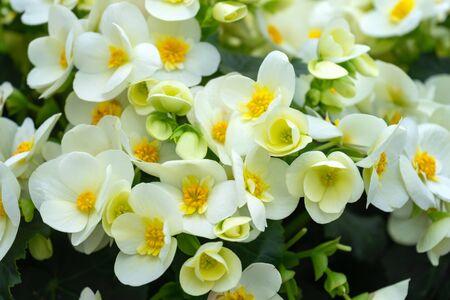 yellow flowers of Begonia grandis, lovesickness, bitter love. Zdjęcie Seryjne