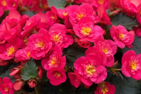 pink flowers of Begonia grandis, lovesickness, bitter love. Zdjęcie Seryjne