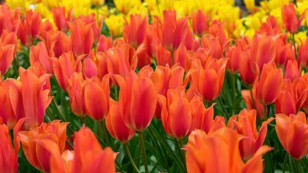 beautiful red Tulip flowers in spring garden.