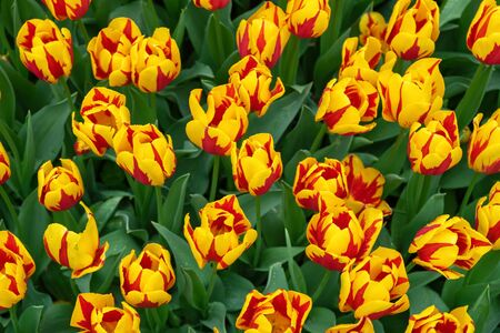 beautiful yellow and red tulip flowers in spring garden.