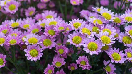 beautiful pink Chrysanthemum flowers in summer garden.