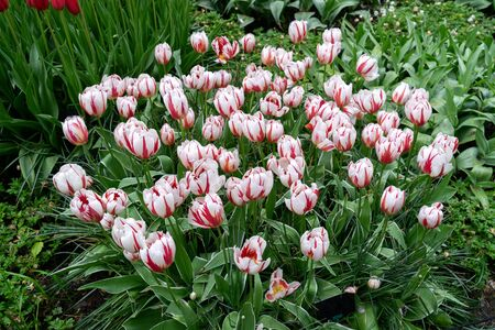 pink and white tulip flowers in spring garden, park