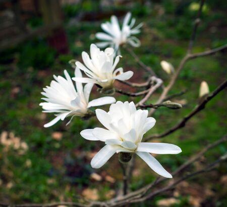 White magnolia flowers in spring green garden. Zdjęcie Seryjne