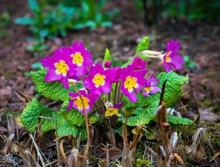 Perennial pink primrose or primula in the spring garden. Zdjęcie Seryjne