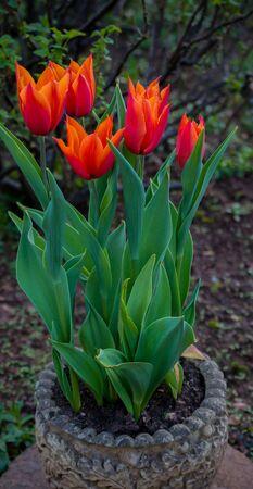 red flower tulip in spring green garden. Zdjęcie Seryjne