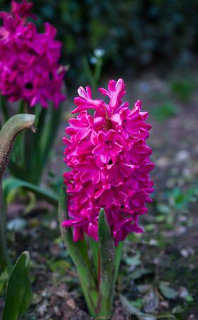 Pink hyacinth in the green garden.Spring flower. Zdjęcie Seryjne