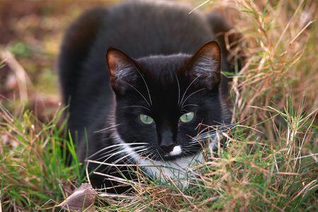 Portrait of a black and white cat with green eyes and a white jabot sitting in summer garden