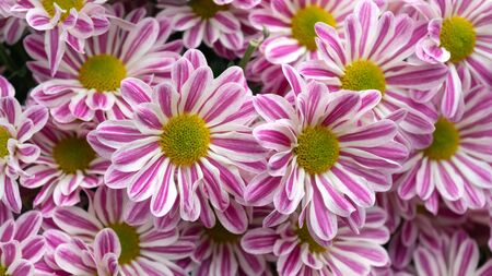 pink and white daisy chrysanthemum flowers bouquet background.