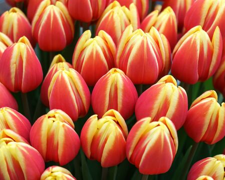 beautiful pink and yellow tulip flowers in spring garden.