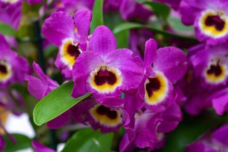Purple Orchid flowers growing in greenhouse garden. Zdjęcie Seryjne