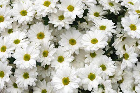 white marguerite daisy, chrysanthemum flowers background in summer garden Zdjęcie Seryjne
