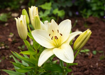 pale yellow lilies are blooming in the garden Zdjęcie Seryjne