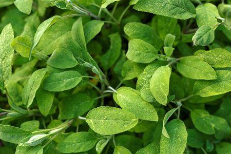 sage, salvia officinalis in summer garden, nature botanical concept Zdjęcie Seryjne