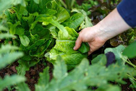 woman hand picking fresh lettuce in garden