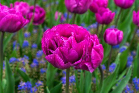 beautiful hot pink poppy like Tulip flowers in spring garden
