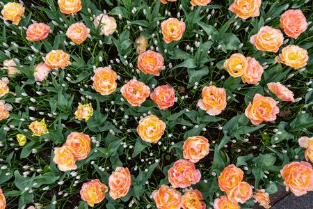 Orange fringed tulips with a white edging in a botanical garden in spring. top view Zdjęcie Seryjne