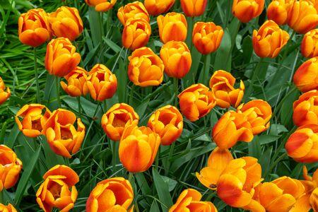 Orange tulip flowers in a botanical garden in spring. top view